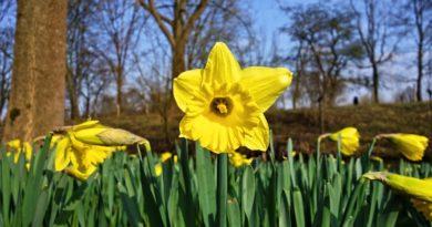 daffodil-3257871_1280